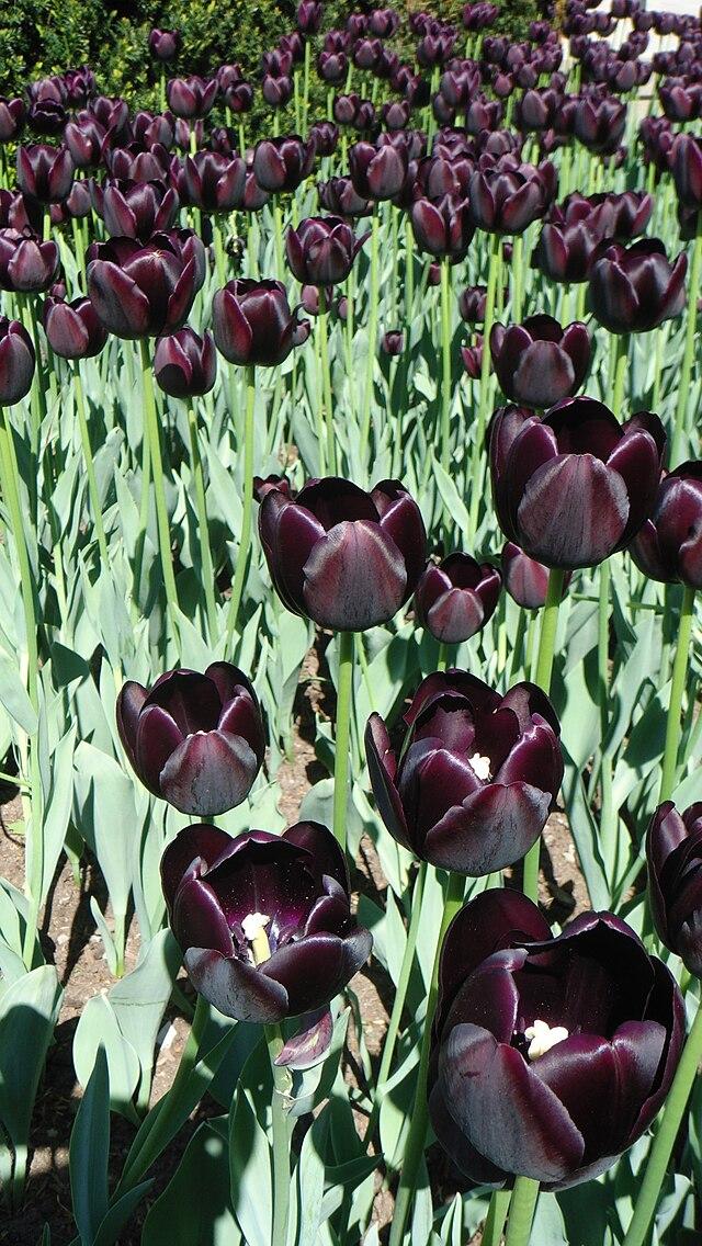 tulipe noire hollande