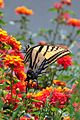 Two-tailed swallowtail (Papilio multicaudata) (8097833654).jpg