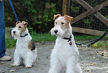 """Two dogs sitting whilst on leads. They are both mostly white with different coloured brown patches. Their fur is curly and wiry."""