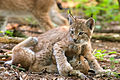 Two lynxes playing.jpg