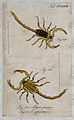 Two scorpions; Tityus griseus and Tityus infamatus. Coloured Wellcome V0022430ER.jpg