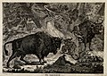 Two wild oxen or aurochs with their young in a forest. Etchi Wellcome V0021025.jpg