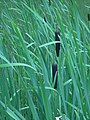 Typha latifolia, Fort Creek.JPG