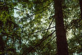 UC Berkeley Eucalyptus Grove (15715732600).jpg