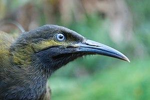 USFWS Gymnomyza samoensis R. Stirnemann (21868973260) .jpg
