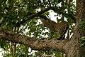 Uday Kiran Leopard BR Hills-12.jpg