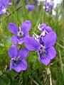 Ulrika - Skogsviol, Viola riviniana (by).jpg