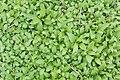 Unidentified plant 02419.jpg