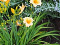 Unknown Daylilies on West Slope S4 - 9293335077.jpg