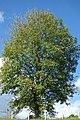 Urapán (Fraxinus uhdei) (14440130585).jpg