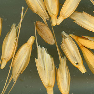 Einkorn wheat - The kernels of einkorn wheat are inside these spikelets.