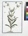 Valerianella arvennsis, pracox humilis, foliis serratis - Mache (NYPL b14444147-1125048).tiff