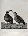 Valley quail (Lophortyx californica); male and female. Engra Wellcome V0022119.jpg