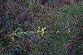 Verbascum growing horizontal (20141128).jpg