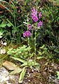Verbascum phoeniceum 2013-06-12 Orchi 001.jpg