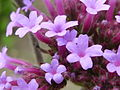 Verbena bonariensis 'Purple top' (Verbenaceae) flower zoom.JPG