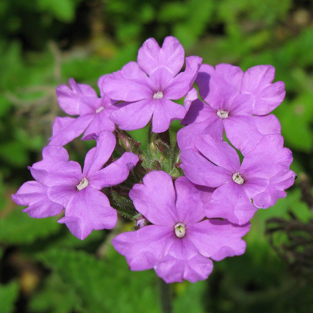 الونكا Vinca rosea  1024px-Verbena_tenera-ja