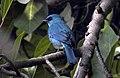 Verditer Flycatcher Eumyias thalassinus DSCN6459 (3).jpg