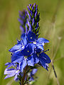 Veronica prostrata subsp. scheereri (flowers).jpg