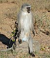 Vervet Monkey (Chlorocebus pygerythrus) male (32549622465).jpg