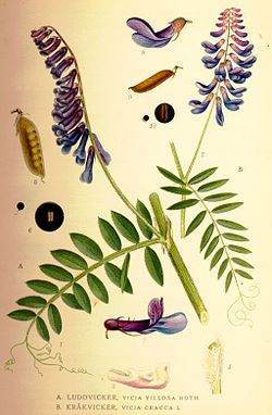Vicia cracca1.jpg