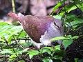 Violaceous Quail-Dove, Panama (8143020744).jpg