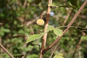 Vitex - Vitex chrysocarpus fruit and autumn leaves