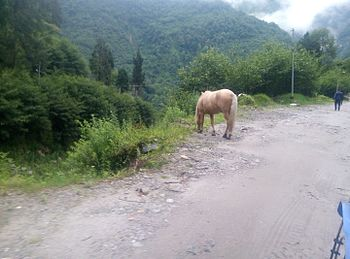 WHITE HORSE TO LACHUNG.jpg