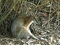 Wallaby5.jpg