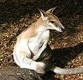 Wallaby (3617636646).jpg