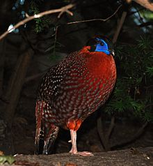 Washington DC Zoo - Tragopan temminckii - 1.jpg