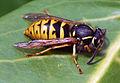 Wasp (3452127697).jpg