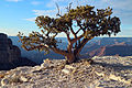 "Water-thrifty ""Bonsai"" Tree Along the Grand Canyon Rim 8025 - Flickr - Grand Canyon NPS.jpg"