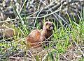 Weasel in the weeds (33821845700).jpg