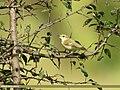 Western Crowned Warbler (Phylloscopus occipitalis) (28031768699).jpg