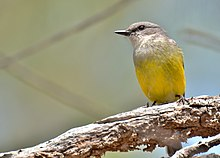 A grey and yellow bird, viewed from below