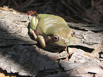 English: White's tree frog
