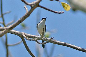 White-bellied Bush Chat (Saxicola gutturalis) (8074117562).jpg