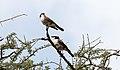White-rumped Shrike (Eurocephalus ruppelli) (46511663602).jpg