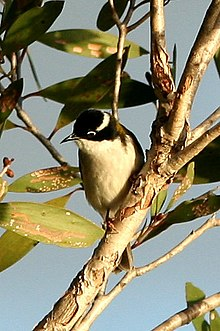 White-throated Honeyeater.jpg