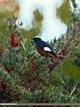 White-winged Redstart (Phoenicurus erythrogastrus) (23022152371).jpg