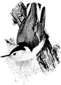 White - breasted Nuthatch-Birdcraft-0119-11.png