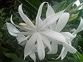 White Jasminum at Rajbiraj, Saptari, Nepal (1).jpg