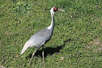 Potawatomi Zoo - Image: White Naped Crane Potawatomi Zoo