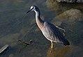 White faced heron. (12106749514).jpg