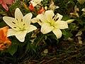 White lilies in Gangtok, Sikkim.jpg
