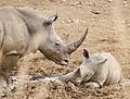 White rhinoceros or square-lipped rhinoceros, Ceratotherium simum. (16730714603).jpg