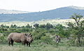 White rhinoceros or square-lipped rhinoceros, Ceratotherium simum. Note that in some of these photos there are a female with a calf, and a male that seems to have been challenging the calf. (16719609713).jpg
