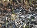 White tailed lapwing.jpg