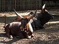 Wiederkäudende Watussirinder Zoo Landau Juni 2011.JPG